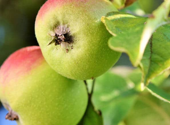 https://it.rivulis.com/wp-content/uploads/2019/05/Apples_Pears-595x439.jpg