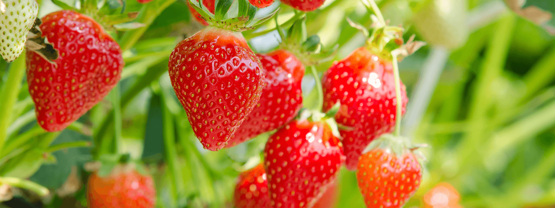 Strawberry Irrigation Solutions