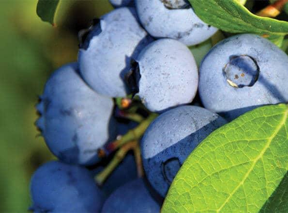https://it.rivulis.com/wp-content/uploads/2019/05/Blueberries_bg-595x439.jpg